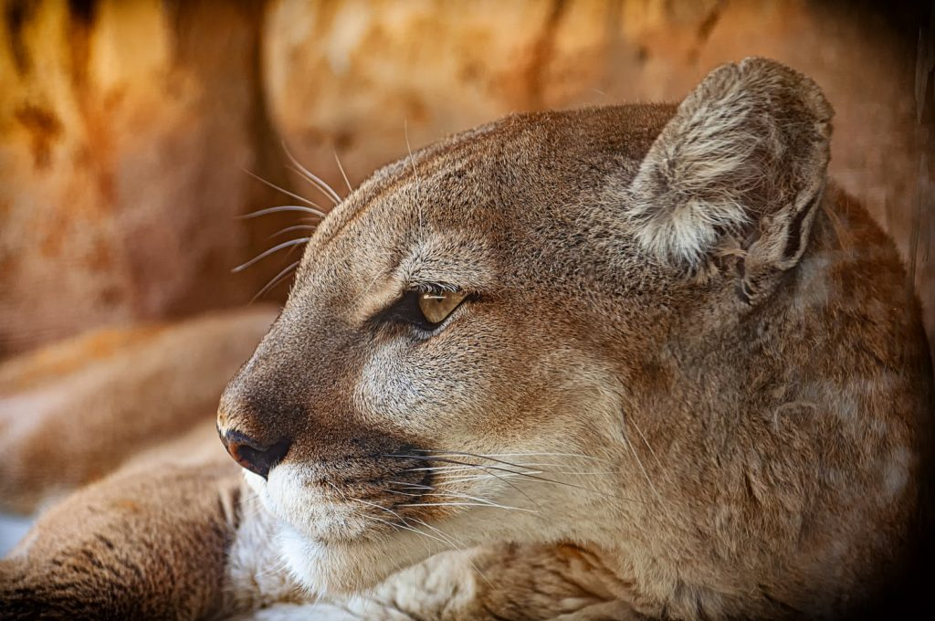 Are mountain lions attracted to menstrual blood