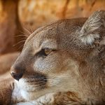 Are Mountain Lions Attracted To Menstrual Blood? (And How To Stay Safe When Camping!)